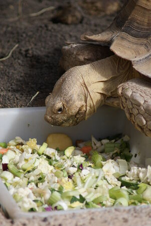 spurred: An African Spurred Tortoise - Centrochelys sulcata