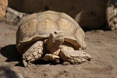 sulcata: An African Spurred Tortoise - Centrochelys sulcata