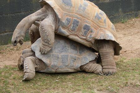 animal sex: A Mating Pair of Aldabra Giant Tortoise - Aldabrachelys gigantea Stock Photo
