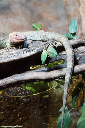 caiman: Northern Caiman Lizard on Tree - Dracaena guianensis Stock Photo