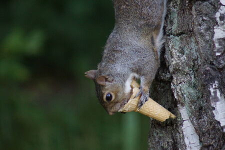 invasive: A Grey Squirrel - Sciurus carolinensis eating an icecream on a tree