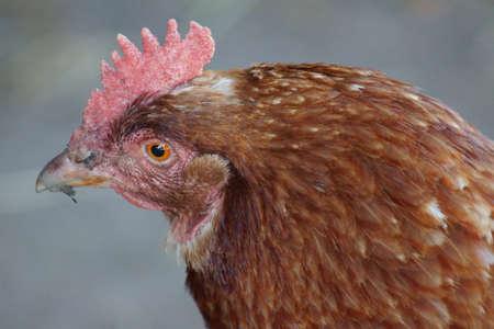 phylum chordata: Pollo - Gallus gallus - Las imágenes de la granja