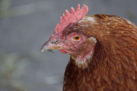 chordata phylum: Pollo - Gallus gallus - Las imágenes de la granja