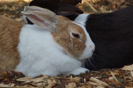 lagomorpha: Close-up image of a Rabbit - Oryctolagus cuniculus