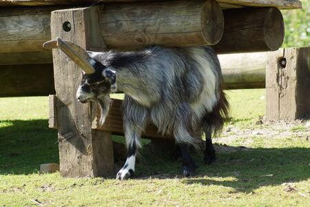 hircus: Domestic Goat - Capra aegagrus hircus at the farm