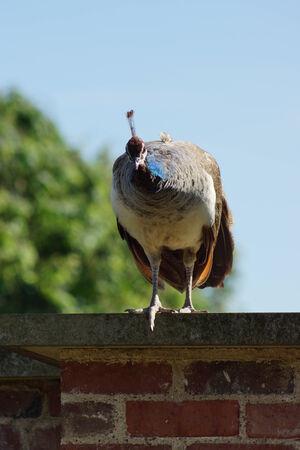 phylum chordata: Un pavo real indio grande - Peahen - Pavo cristatus
