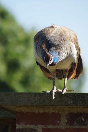 pavo: A Large Indian Peafowl - Peahen - Pavo cristatus