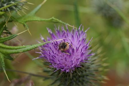 mellifera: Western Honeybee - Apis mellifera on purple flower Stock Photo