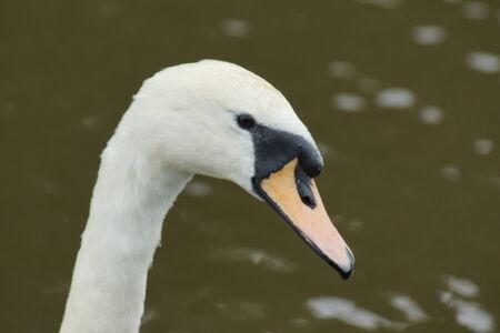 anseriformes: A Wild White Mute Swan - Cygnus olor