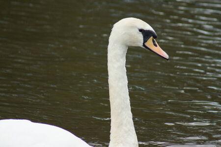 cygnus olor: A Wild White Mute Swan - Cygnus olor