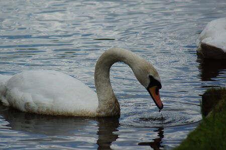 olor: A Wild White Mute Swan - Cygnus olor