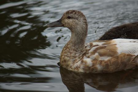 anseriformes: A Mallard - Anas platyrhynchos - Wild Duck