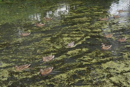 anas platyrhynchos: A Mallard - Anas platyrhynchos - Wild Duck