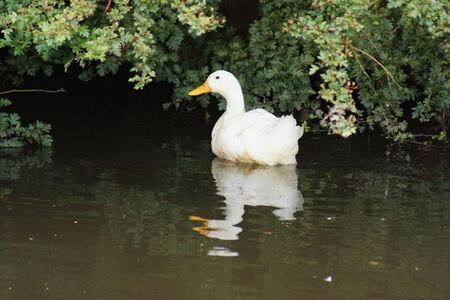 anseriformes: A White Domestic Duck - Anas platyrhynchos domesticus