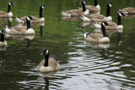 branta: Flock of Canada Goose - Branta canadensis