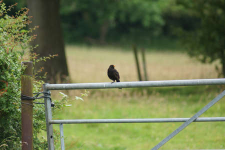 A Wild Perching Common Blackbird - Turdus merula photo