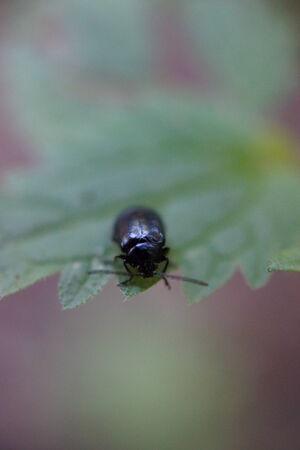 devouring: An Alder Leaf Beetle - Agelastica alni devouring greenery