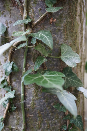 Ivy - Hedera crawling up a tree in countryside