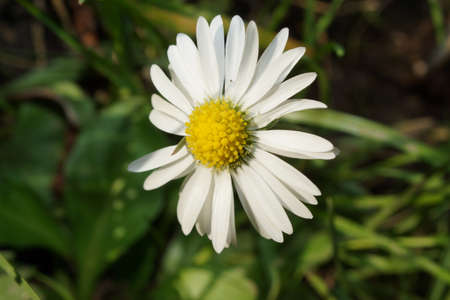 vulgare: A White Ox-eye Daisy Flowering Plant - Leucanthemum vulgare