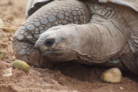 gigantea: A Wild Aldabran Giant Tortoise - Aldabrachelys gigantea
