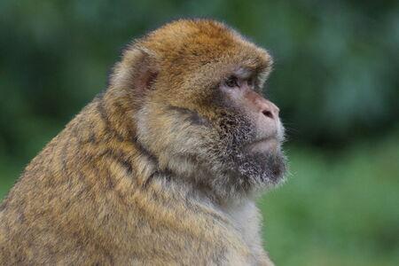 sylvanus: The European Monkey