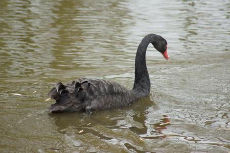 cygnus atratus: A Black Swan - Cygnus atratus on the water
