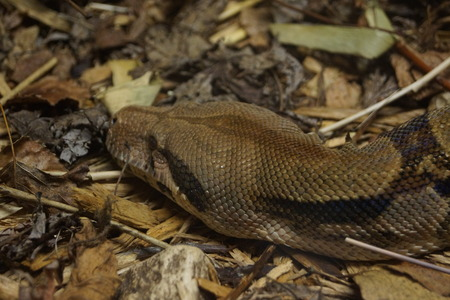 constrictor: A Large Boa Constrictor - Boa constrictor constrictor