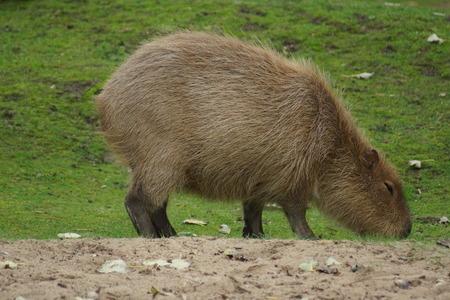 the largest: The Worlds Largest Rodent - Capybara - Hydrochoerus hydrochaeris