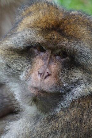 sylvanus: The European Monkey - Barbary Macaque - Macaca sylvanus