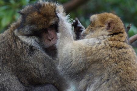 sylvanus: The European Monkey - Barbary Macaque Grooming - Macaca sylvanus
