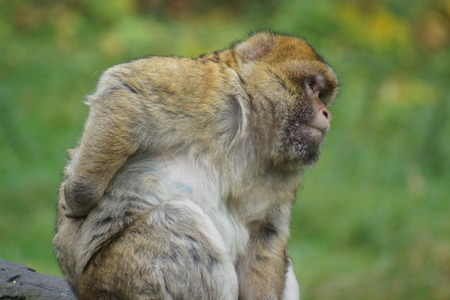 scratcher: The European Monkey - Barbary Macaque backscratcher - Macaca sylvanus