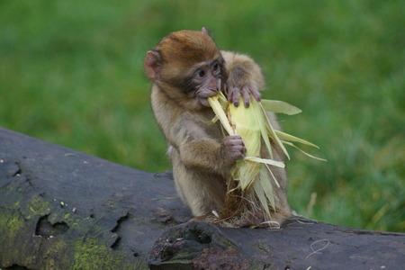 sylvanus: The European Monkey - Barbary Macaque eating corn - Macaca sylvanus