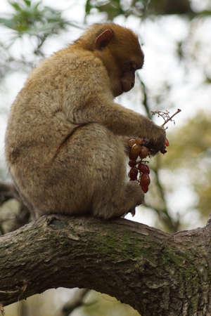 sylvanus: The European Monkey - Barbary Macaque eating grapes - Macaca sylvanus
