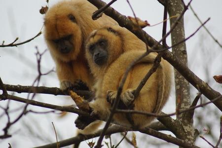 howler: Black Howler Monkey - Alouatta caraya in the trees