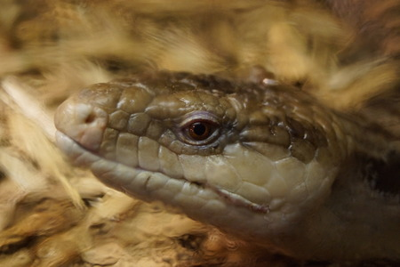 reptilia: A Blotched Blue-tongued Skink