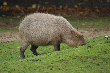 the largest: The Worlds Largest Rodent  Stock Photo