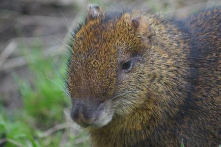agouti: A Wild Central American Agouti - Dasyprocta punctata