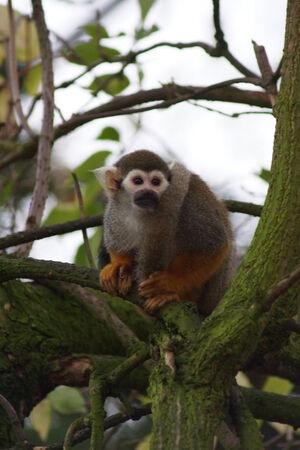 sciureus: A small Common Squirrel Monkey - Saimiri sciureus