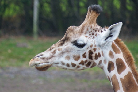 giraffa camelopardalis: A tall large wild Giraffe - Giraffa camelopardalis