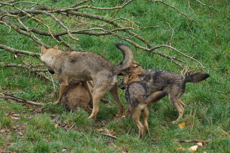 canis: Images from within a pack of Iberian Wolf - Canis lupus signatus