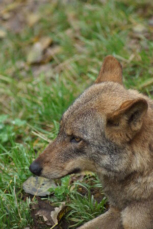 canid: Images from within a pack of Iberian Wolf - Canis lupus signatus