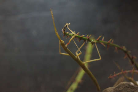 insecta: A green Indian Stick Insect - Carausius morosus
