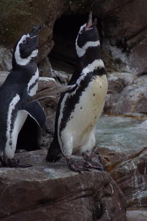 south african birds: Magellanic Penguin - Spheniscus magellanicus - Flock of Penguins