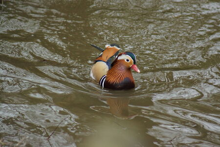 anseriformes: A wild colourful Mandarin Duck - Aix galericulata Stock Photo