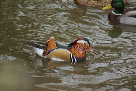 aix galericulata: A wild colourful Mandarin Duck - Aix galericulata Stock Photo