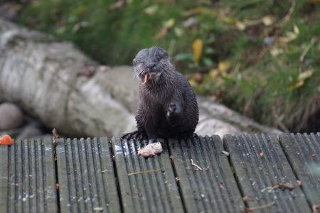 aonyx cinerea: A wild Oriental Small-clawed Otter - Aonyx cinerea