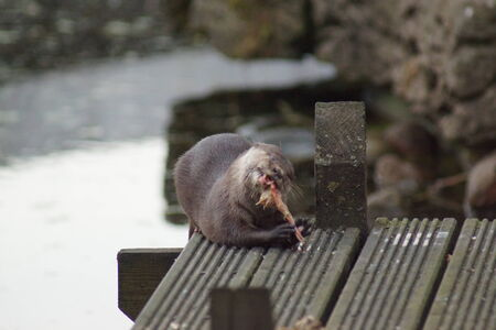 small clawed: A wild Oriental Small-clawed Otter - Aonyx cinerea