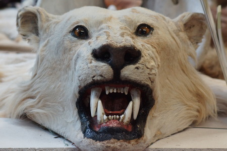 illegal trading: The illegal fur trade - Polar Bear - Ursus maritimus Stock Photo