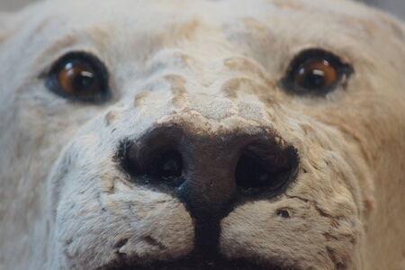 poaching: The illegal fur trade - Polar Bear - Ursus maritimus Stock Photo