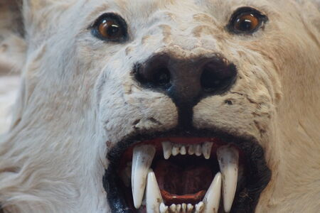 poaching: The illegal fur trade - Polar Bear - Ursus maritimus Stock Photo